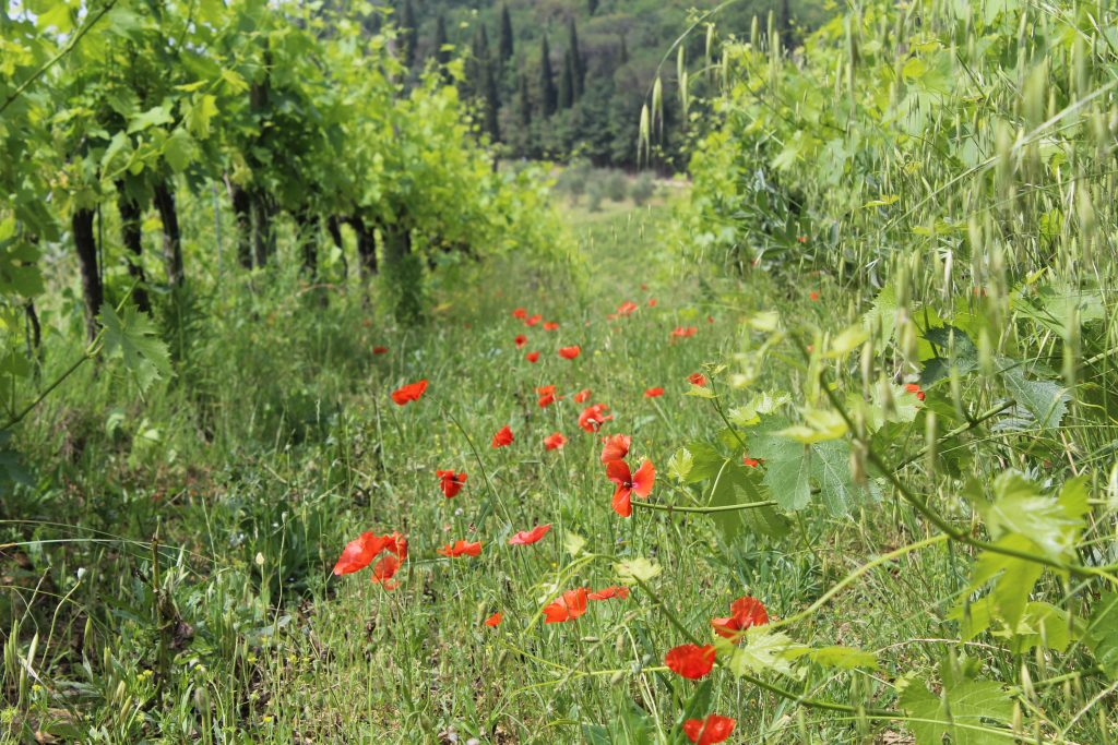 Tuscan wildflowers.